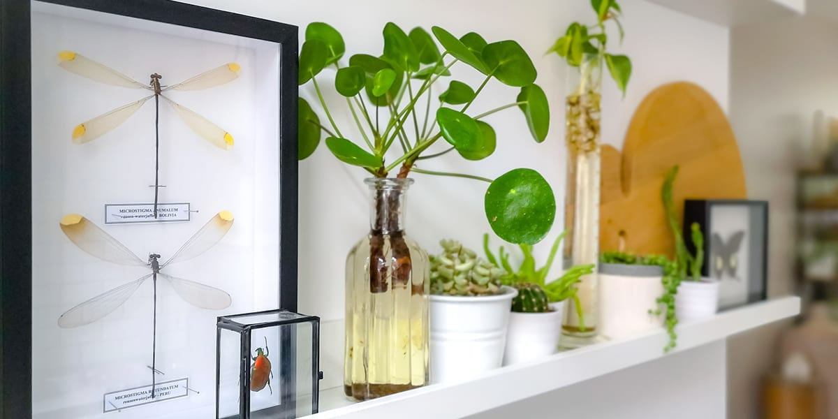 houseplants-as-living-decor-chinese-money-plant