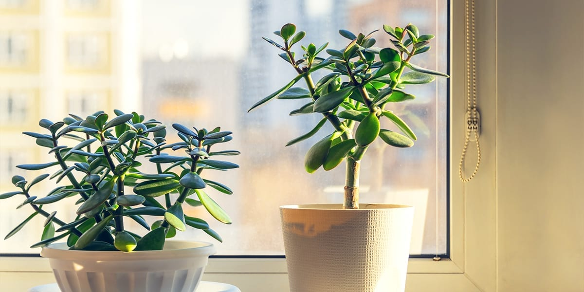 houseplants-as-living-decor-jade-plant-window