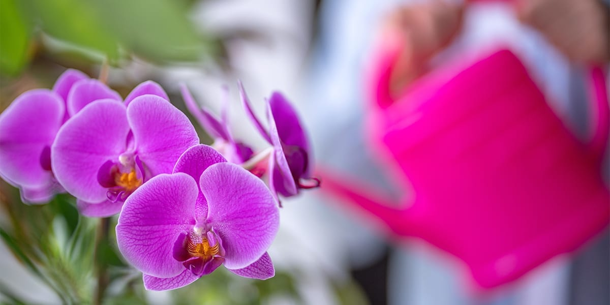 caring-for-orchids-pink-orchid-being-watered