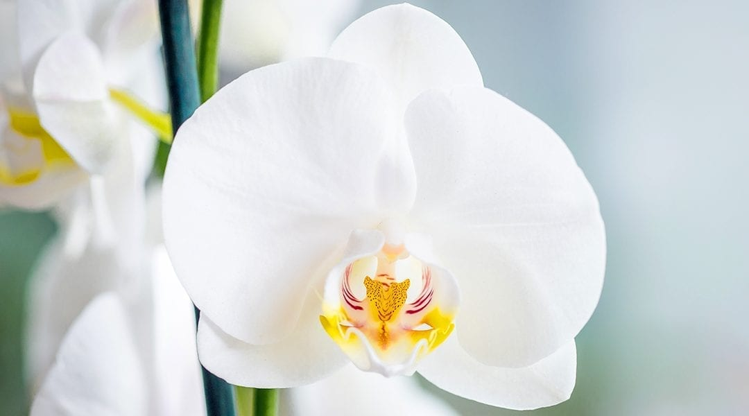 caring-for-orchids-white-moth-orchid-up-close