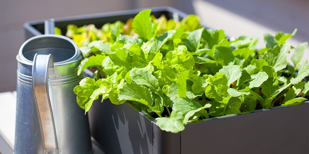 kid-friendly-edible-gardening-lettuce-plant-in-container