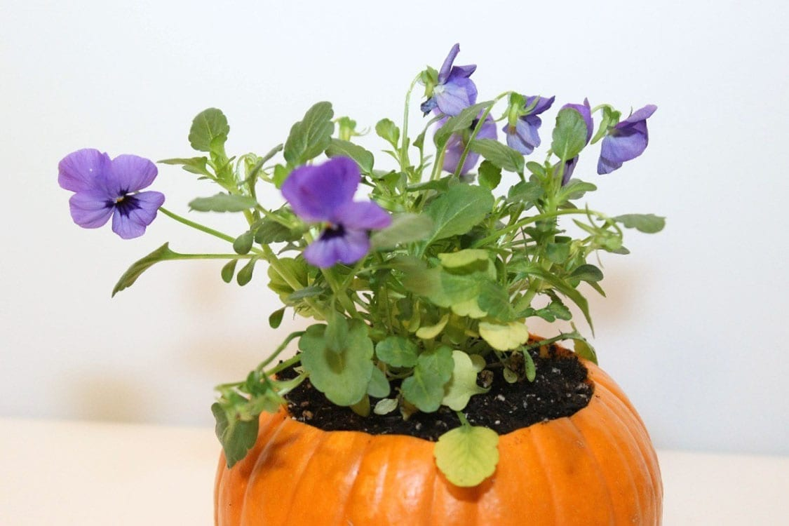 pie planter, cool weather annuals,